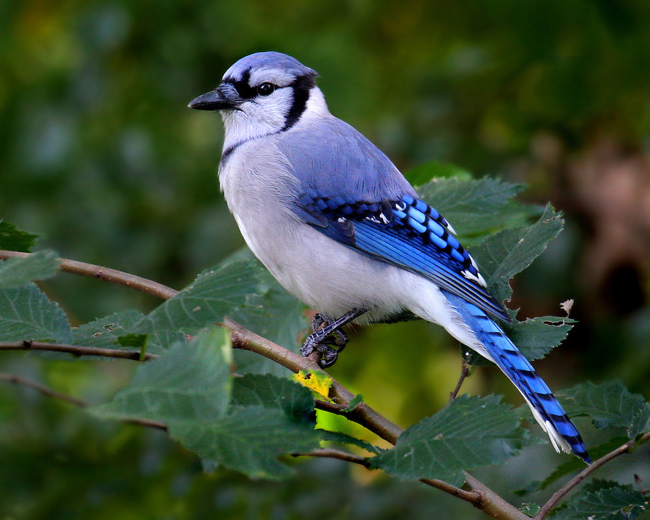 A blue jay near the 15th Street entrance to the park.