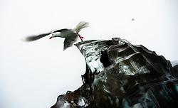 Glaucous Gull (Larus hyperboreus) on glacier ice in Liefdefjorden on Spitsbergen, Svalbard