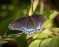 A Black Iridescent Blue Butterfly Sunning at the Sourland Mountain Preserve. Image taken with a Nikon 1 V3 camera and 70-300 mm VR lens (ISO 160, 300 mm, f/5.6, 1/200 sec). Raw image processed with Photoshop CC 2014 and Focus Magic.