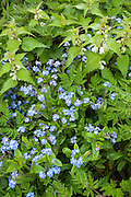 Forget-Me-Not, Myosotis arvensis, and dead nettles, Lamium maculatum, spring wildflowers in the Cotswolds, Oxfordshire, UK