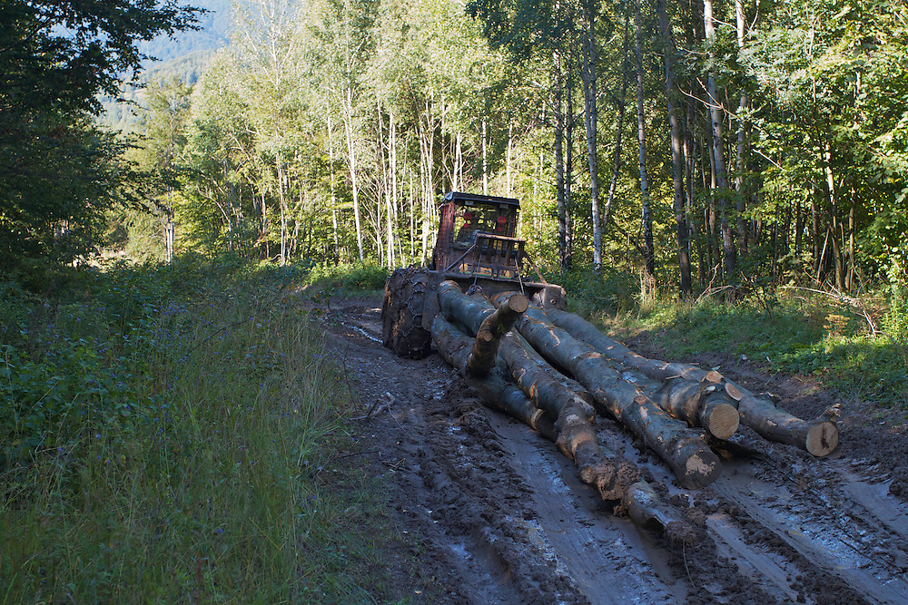 Tractor pulling Common beech (Fagus sylvatica) logs out of the forest of Poloniny National Park and Jarabá Skala Nature Reserve. These logs are cut by order of the State Forestry Department. Runina area, Slovakia.