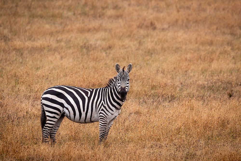 A side view of one zebra in a golden grassland  in California looking forward.