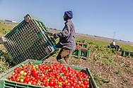Boreano, Basilicata, Italia, 14/09/2013 <br /> I lavoratori stagionali impegnati nella raccolta dei pomodori nella zona dell'Alto Bradano<br /> <br /> Boreano, Basilicata, Italy, 14/09/2013 <br /> Seasonal workers taken on tomato harvesting in the Alto-Bradano area.
