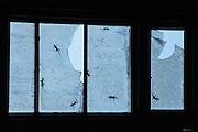 Geckos on window (Gekkonidae)<br /> Biak Island<br /> West Papua<br /> Indonesia