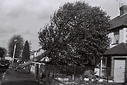 A fallen tree in Greenford on the morning after the hurricane of October, UK, October, 1987.