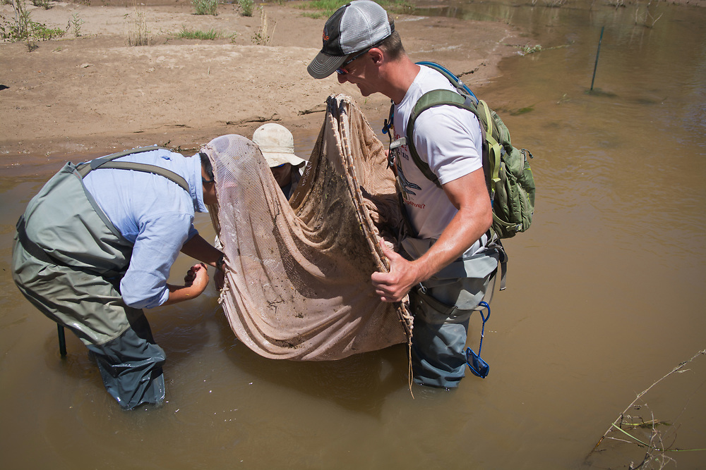 mkb061417d/metro/Marla Brose --  Looking for silvery minnows in an overbank area of the Rio Grande bosque near Paseo Del Norte Blvd., biologist Steve Zipper, puts his head into one of three nets while monitoring silvery minnows and other fish with other biologists from SWCA Environmental Consultants, including Jason Kline, right, and Matt McMillan, behind the net, Tuesday, June 13, 2017. (Marla Brose/Albuquerque Journal)