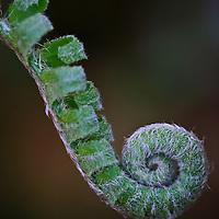 Close-up of a Christmas fern (Polystichum acrostichoides) fiddlehead, Trout Run Park, George Washington Memorial Parkway, Virginia.
