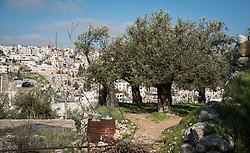 2 March 2020, Hebron: Olive trees grow on a plot in the Tel Rumeida area of Hebron, West Bank.