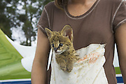 Serval<br /> Felis serval<br /> Six week old orphan serval kitten in kangaroo pouch (used to carry kitten and increase emotional bond with foster parent)<br /> Masai Mara Reserve, Kenya