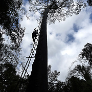 Honey hunter constructing makeshift ladder to climb Tualang tree on February 27, 2016. The Tualang tree or bee tree is the tropical rainforest's tallest able to grow up to 80 meters tall. The tree is virtually impossible to climb due to its  with the slippery smooth trunk. Thus, discourages the Malayan sunbear, Helarctos malayanus, from climbing up the trunk and plundering the hives.