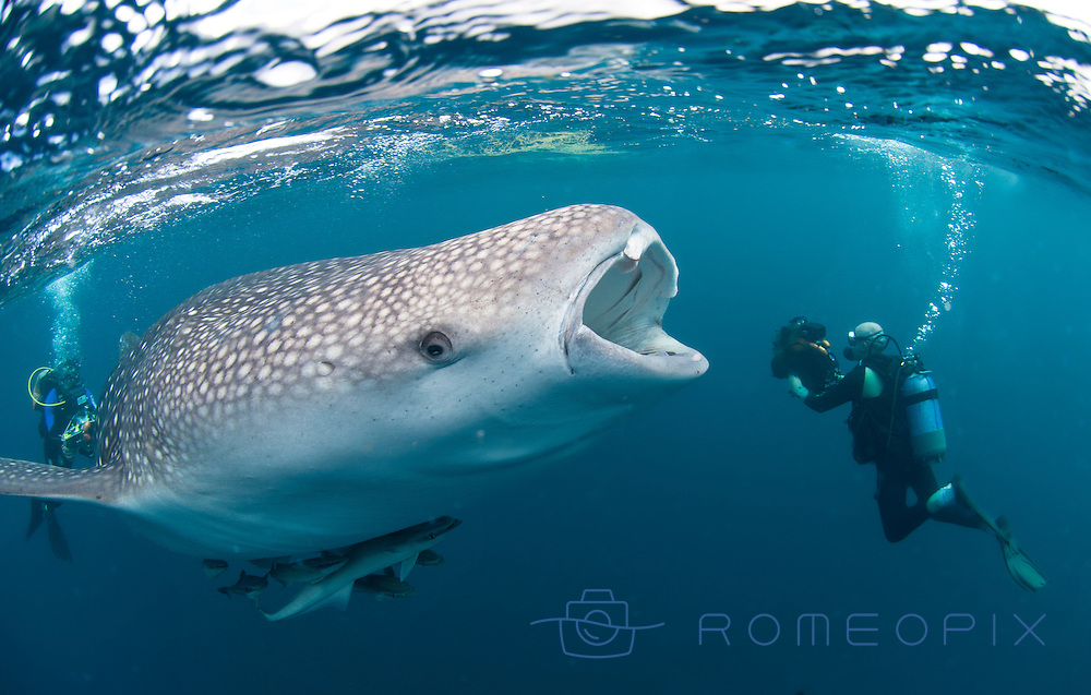 WHALE SHARK WITH SCUBA DIVERS DURING FEEDING