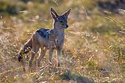 Black-backed jackal (Canis mesomelas) from Maasai Mara, Kenya.