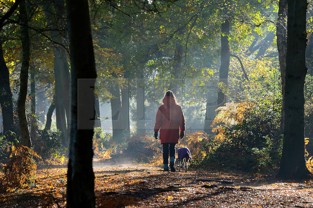 © Licensed to London News Pictures. 13/11/2013. Burnham, UK. A woman walks her dog through a misty walk.  Autumn sunshine through the trees at Burnham Beeches, South Buckinghamshire on WEDNESDAY 13TH NOVEMBER. The beeches covering 220 hectares is primarily noted for its ancient beech and oak pollards. Photo credit : Stephen Simpson/LNP