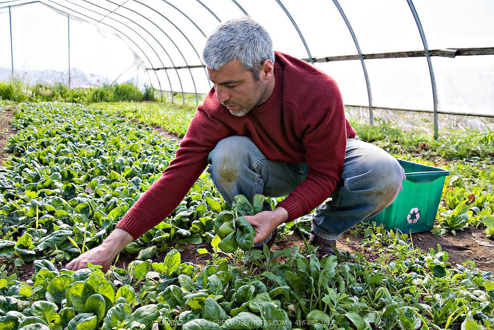 Organic Farmer Rod Venturelli harvests organic spring spinach by hand in a greenhouse at Plan B Organic Farms.