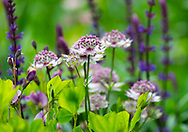 Astrantia and Salvia in a border at Stockton Bury Gardens, Kimbolton, Leominster, Herefordshire, UK