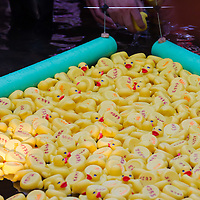 A thousand rubber ducks float to the finish line on a creek during a charity race of the Rotary Club in Szentendre (about 20 km North of the capital city Budapest), Hungary on August 31, 2013. ATTILA VOLGYI