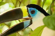 Portrait of colorful toucan, Amazon, Ecuador.