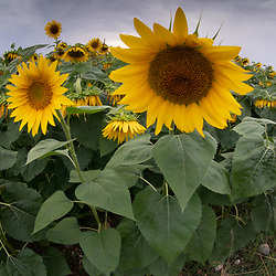 Sunflowers, Mantoudi, Euboea,  Greece