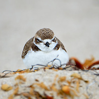 Snowy Plover in sand