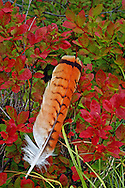 Red-tailed hawk feather and mountain huckleberry bush in fall. Purcell Mountains, Montana