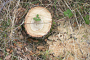stump of a fresh cut down tree