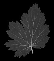 X-ray image of a Chinese anemone leaf (Anemone hupehensis, white on black) by Jim Wehtje, specialist in x-ray art and design images.