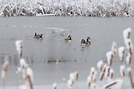 Middletown, New York - Canada geese in a pond with snow-covered cattails in the background during a snowstorm on March 8, 2013.