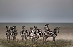 A herd of plains zebra (Equus quagga) standing on the plain of the Serengeti, ,Ndutu, Ngorongoro Conservation Area, Tanzania, Africa