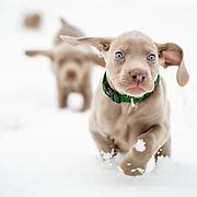 20160130 Weimaraner Puppies