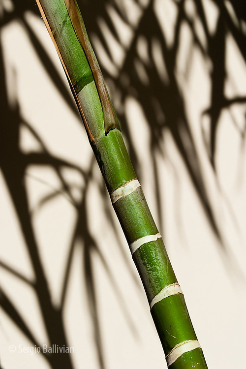 Details of a bamboo plant stalk that contrasts with a white wall in Miami Beach, Florida.