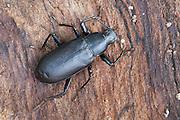 - False Mealworm Beetle; Alobates pennsylvanica; PA, Philadelphiia, Schuylkill Center