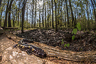 A spotted salamander (Ambystoma maculatum) in habitat - Water Valley, Mississippi