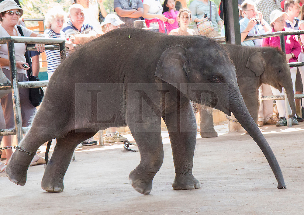 © Licensed to London News Pictures. 20/01/2014. Sri Lanka, UK Pinewalla Elephant Orphanage in Sri Lanka. Young elephants, aged between 8 months & two years, are chained to posts in a circular enclosure, surrounded by the paying public waiting to bottle feed the elephants. The elephants appear to be distressed and are seen pulling hard against the chains, which dig in to their skin. Photo credit : John Freeman/LNP