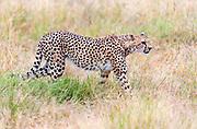 Cheetah, Acinonyx jubatus, from Amboseli NP, Kenya