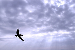 Pelican in Flight Against a Cloudy Sky With Rays of Sunlight