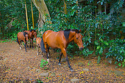 Wild horse, Waipio Valley, Big Island of Hawaii