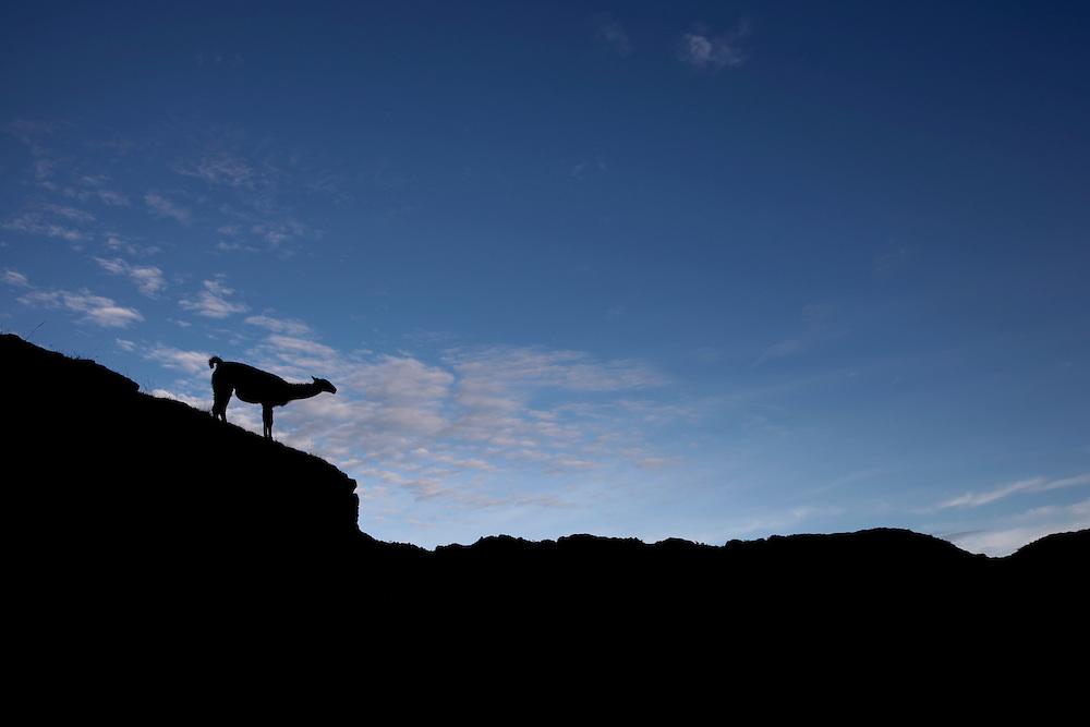 Llama at sunrise atthe Machu Picchu sanctuary in Peru.