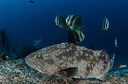 Grouper (Epinephelus sp.)<br /> Raja Ampat<br /> West Papua<br /> Indonesia