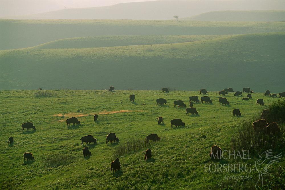 Bison graze in the Flint Hills, Kansas.