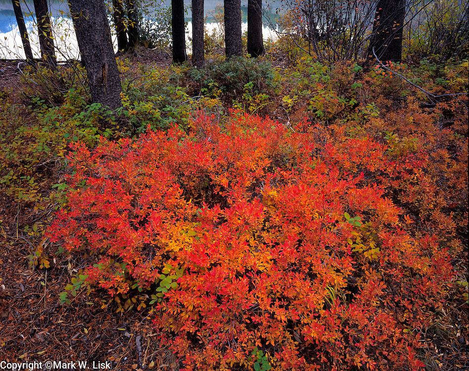 False huckleberry covers the forest floor surrounding adjacent lodge-pole pine.