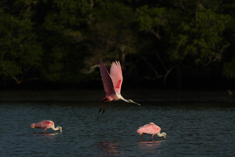 Roseate Spoonbills are making a seeming comeback in the Everglades as 2016 is seeing an abundance of them.