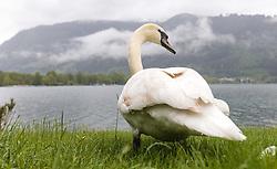 THEMENBILD - ein Höckerschwan an einem verregneten Tag auf einer Badewiese, aufgenommen am 23. Mai 2015 am Zeller See, Zell am See, Österreich // a Mute Swan on a rainy Day on a sunbathing lawn at the Lake Zell, Zell am See, Austria on 2015/05/23. EXPA Pictures © 2015, PhotoCredit: EXPA/ JFK