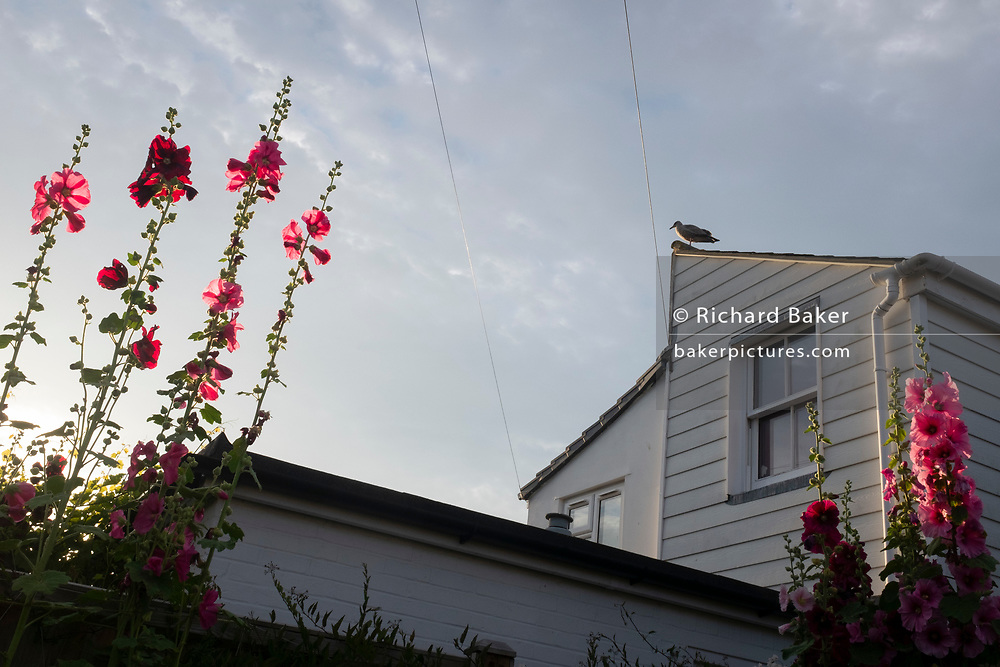Hollyhocks and a coastal seagull overlooking rear gardens, on 19th July 2020, in Whitstable, Kent, England.
