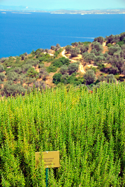 Rosmarinus officinalis. Characteristic plant of the Aegean region at the Aegean Botanic Garden at Kallimasia village, south Chios island, Greece. The Botanic Gardens (according to the IUCN Botanic Gardens Conservation Secretariat) play an important role in the maintenance of plant diversity and the education of society in this direction. The village is located about 13 km
