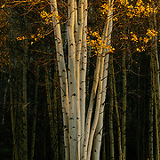 Aspen trees are photographed to look like the color version and contrast of an Ansel Adams photo, Vail, Colorado.