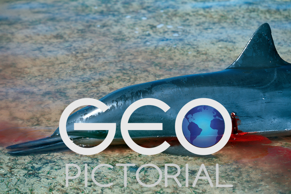 A speared dolphin lies dead and bleeding on the reef shallows..Kontu, New Ireland Province, Papua New Guinea;