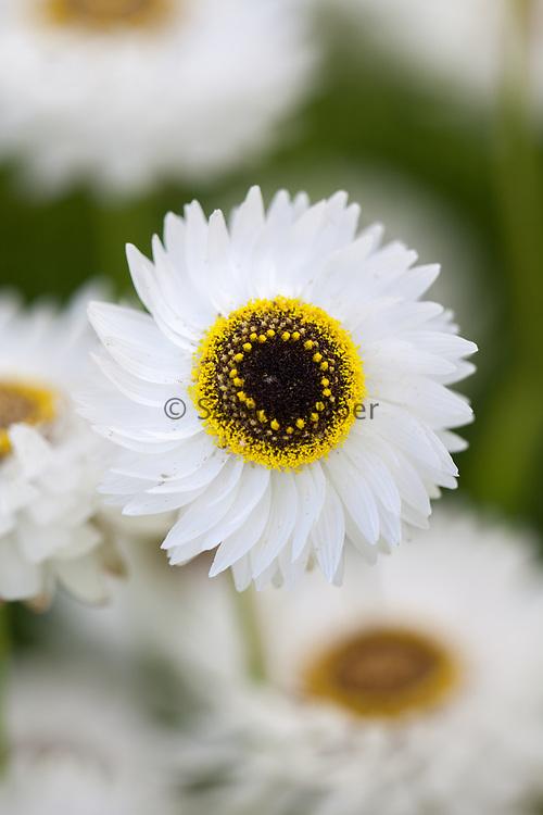 Helipterum roseum 'Pierrot White' - everlasting pierrot