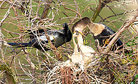 Anhinga, (Anhinga anhinga), on nest with three chicks,  Wakodahatchee Wetlands, Delray Beach, Florida, USA   Photo: Peter Llewellyn