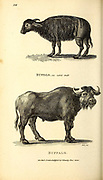 Buffaloes from General zoology, or, Systematic natural history Vol II Part 2 Mammalia, by Shaw, George, 1751-1813; Stephens, James Francis, 1792-1853; Heath, Charles, 1785-1848, engraver; Griffith, Mrs., engraver; Chappelow. Copperplate Printed in London in 1801 by G. Kearsley