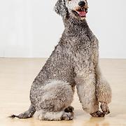20120515 Poodles